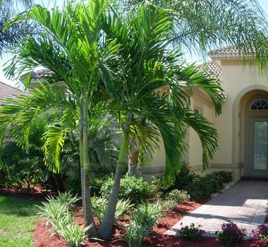 christmas palm - Christmas Tree Palm