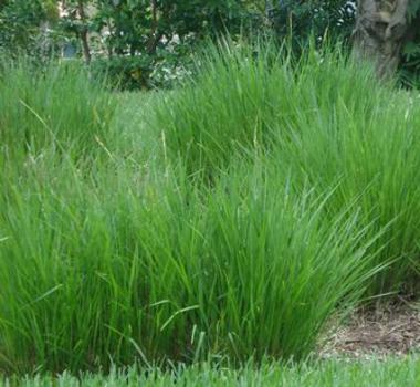 Fakahatchee Grass Dwarf Palm Tree Landscaping Bokeelia